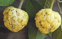 Ultra Rare Tropical Fruit Annonaceae 2 Fresh seeds of Cremastosperma brevipes