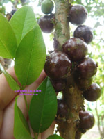 Click to Enlarge Hybrid Jaboticaba Photo