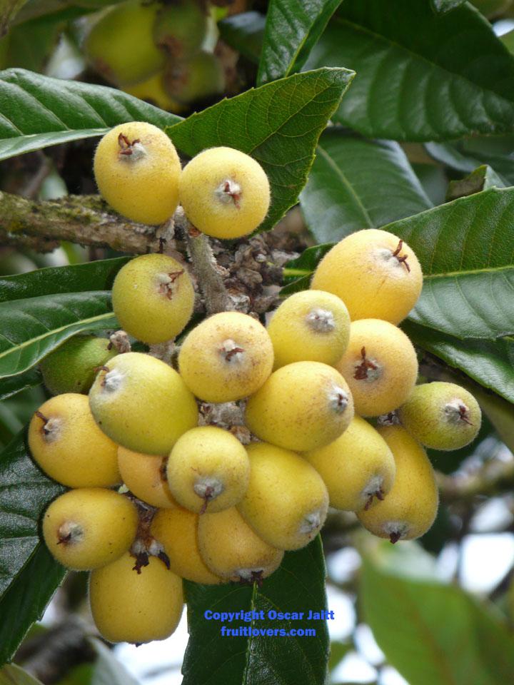 Longan Rare Fruit Seeds and E...