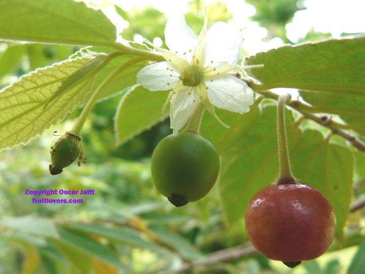 MuntingiaCalaburaFlowerAndFruits - Beautiful tree: unsa gani toy pangalan ani? - Photos Unlimited