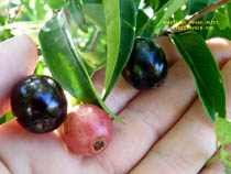 Click to enlarge Rainforest Plum photo