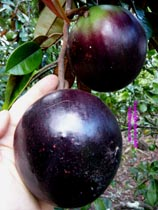 Giant Purple Starapple click to Enlarge