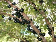 Jaboticaba click to Enlarge
