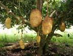 Jackfruit click to Enlarge